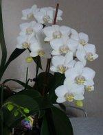 Phalaenopsis_51