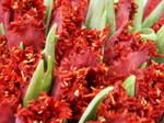 Tulipe_10