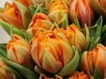 Tulipe_11
