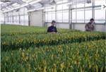 Tulipes_serres