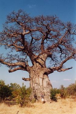 Baobob_arbre_2