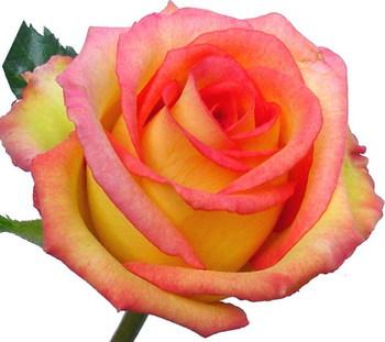 Rose_ambiance