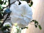 Camelia_blanc