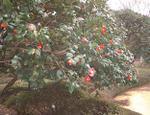 Camellia_arbre