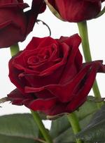 Rose_grandeamore_01