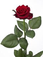 Rose_grandeamore_02