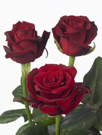 Rose_grandeamore_03