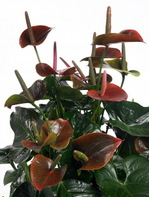 Anthurium_brownking_01