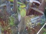 Plantes_carnivores_10