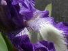 Iris02