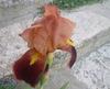 Iris09