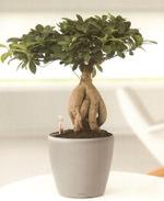 Ficus_ginseng_01