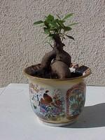 Ficus_ginseng_02