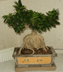 Ficus_ginseng_microcarpa