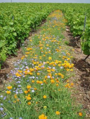 Beaujolais_fleurs