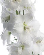 Delphinium_blanc