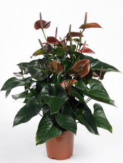 Anthurium_plante