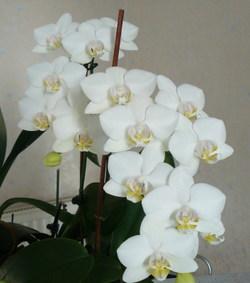 Orchide_phalaenopsis