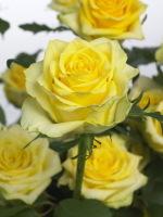 Rose_tara_02