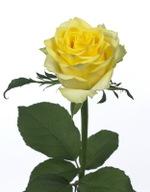 Rose_tara_03_2