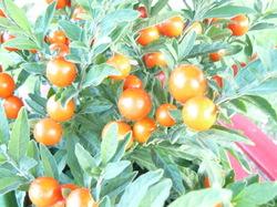 Solanum_01