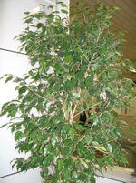 Ficus_benjamina1