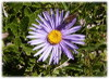 Aster_1