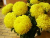 Chrysantheme_03_1