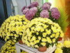 Chrysantheme_12
