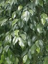 Ficus_benjamina_04_1