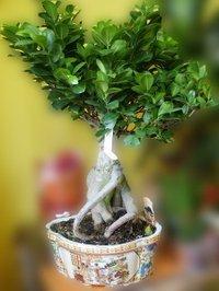 Ficus_gingsens_2