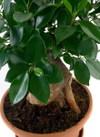 Ficus_microcarpa_01
