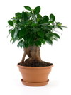 Ficus_microcarpa_02