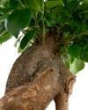Ficus_microcarpa_03