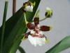 Orchides___06