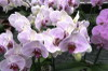 Phalaenopsis_21