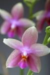 Phalaenopsis_22