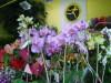 Phalaenopsis_28
