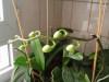 Phalaenopsis_29