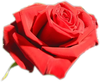 Rose_rouge_00