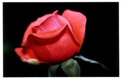 Rose_rouge_03_1