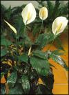 Spathiphyllum_03