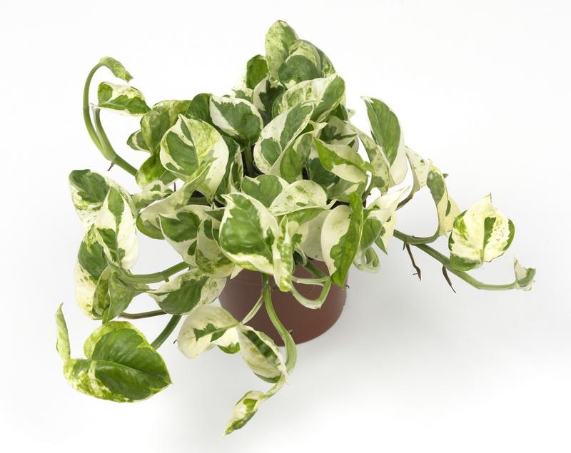Pinnata epipremnum aureum scindapsus aureus pothos aureus pothos
